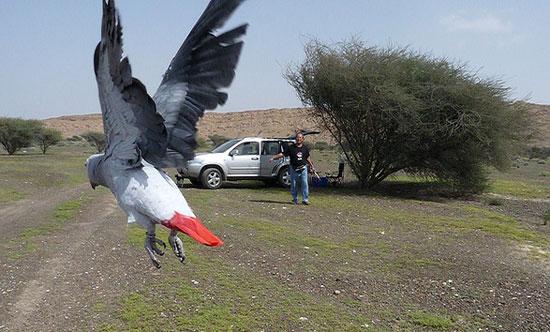 Papegaai aan de ketting